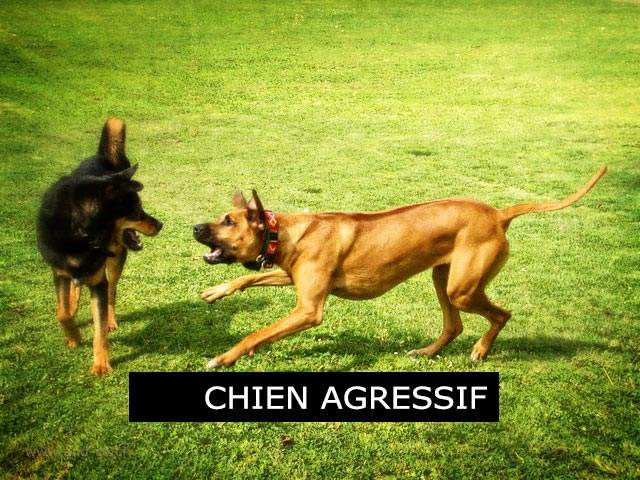 Comportement canin - Monthey - Valais - Chien agressif