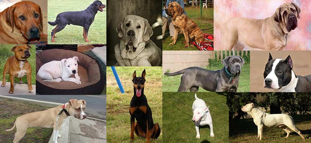chiens interdits ou r put s dangereux en valais liste des races. Black Bedroom Furniture Sets. Home Design Ideas