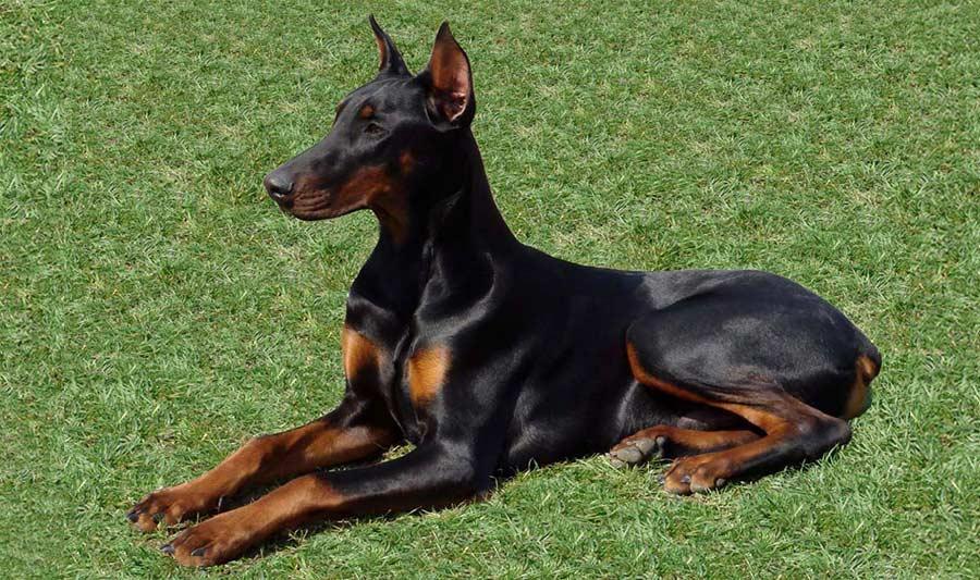 Le Dobermann, race de chien potentiellement dangereuse, interdite en Valais