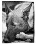 Photographies de chiens - Caniboum 2015, Saint-Maurice