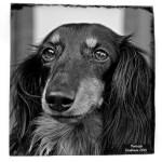 Portrait - photo canine - Isis - Caniboum 2015, Valais