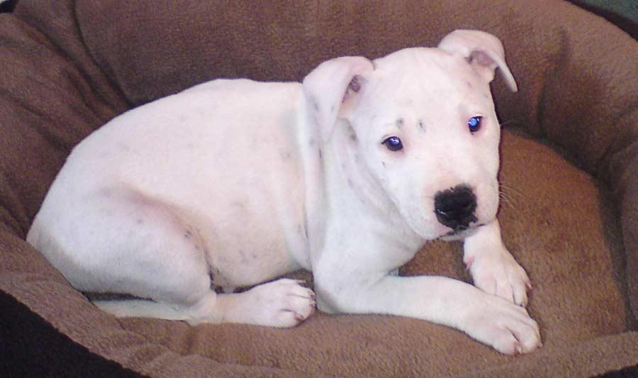 Staffordshire Bull Terrier - Chien Interdit en Valais