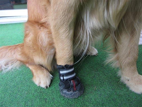 Chaussure du chien blessé par du verre