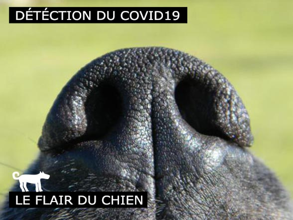 Covid-19 le flair du chien