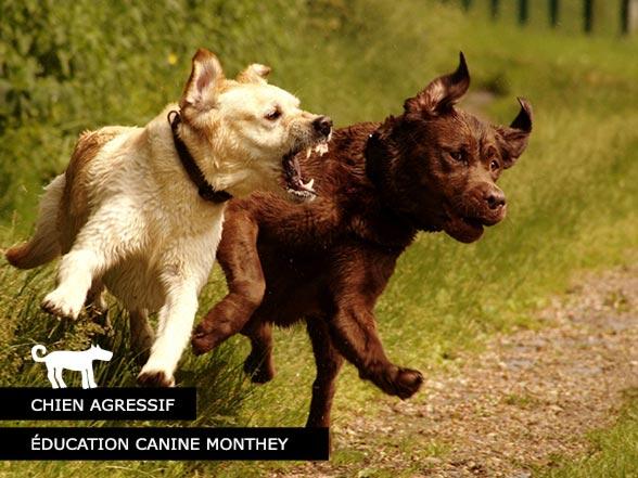Chien agressif - éducation canine Suisse